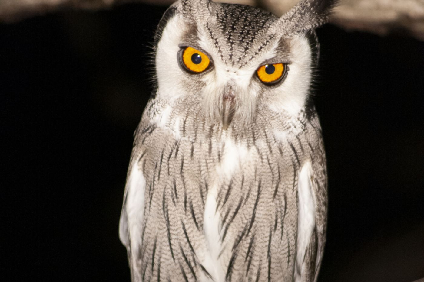 White-faced-Scops-Owl