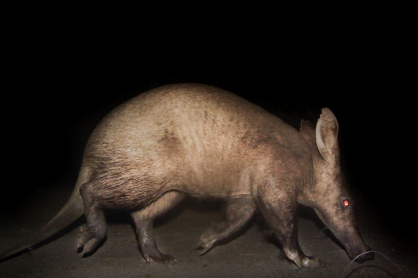An-aardvark-walks-in-front-of-a-camera-trap-on-the-southern-parts-of-our-reserve